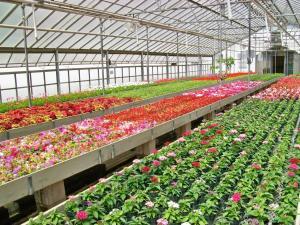 Flores otro beneficio del cultivo hidrop nico for Produccion de plantas ornamentales pdf