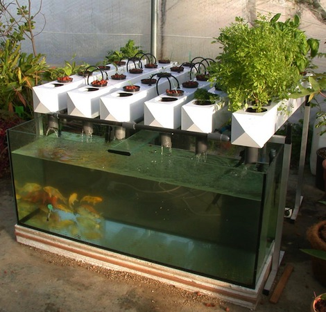 Acuapon a m s que un simple cultivo for Como cultivar peces en casa