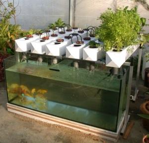 Acuapon a m s que un simple cultivo for Peces que se cultivan en estanques en panama