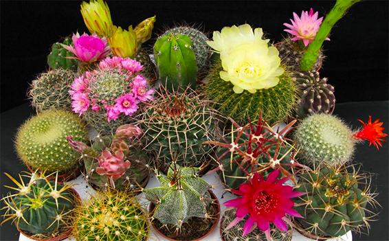 Cact ceas s mbolo de identidad nacional for Especies de cactus