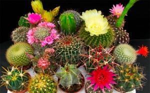 Cact ceas s mbolo de identidad nacional for Cactus cuidados interior